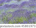 라벤더 꽃밭 45801973