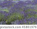 라벤더 꽃밭 45801976