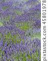 라벤더 꽃밭 45801978