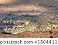 Nile Crocodile in Chobe river, Botswana 45804411