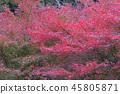 단풍, 홍색, 빨간색 45805871