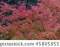 단풍, 홍색, 빨간색 45805955