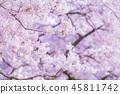 beautiful cherry blossom in spring season. 45811742