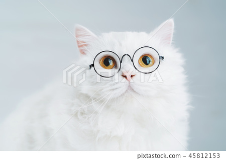 Domestic soigne scientist cat poses on white background wall. Close portrait of fluffy kitten in 45812153