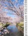 이마이의 벚꽃 45813598