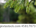 Fresh spruce twig with droplets 45817673