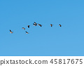 Migrating cranes flying in a line 45817675