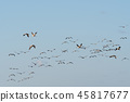 Migrating Common Cranes 45817677