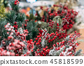 Christmas decoration background: branches and holly berries 45818599
