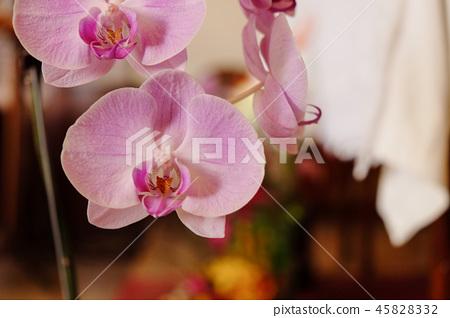 美麗的蘭花花,種子室的種子上升了。 45828332