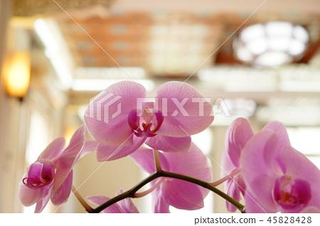 美麗的蘭花花,種子種植室。背景是Kore主席。透明的外面的有田有代。 45828428
