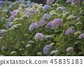 수국,꽃,풍경 45835183