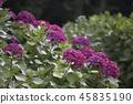 수국,꽃,풍경 45835190