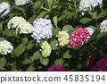 수국,꽃,풍경 45835194
