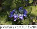 수국,꽃,풍경 45835208