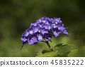 수국,꽃,풍경 45835222