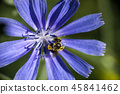bee on a flower of endive 45841462