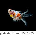 goldfish isolated on a dark black background 45849253