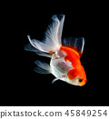 goldfish isolated on a dark black background 45849254