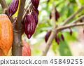 Cacao Tree (Theobroma cacao). Organic cocoa fruit 45849255