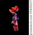 Betta fish, siamese fighting fish isolated on  45849257