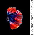 Betta fish, siamese fighting fish isolated  45849259