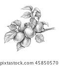 Apricot Branch  Pencil Drawing 45850570