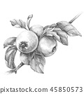 Apple Branch  Pencil Drawing 45850573