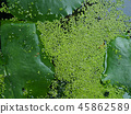 Green plants and small algae 45862589