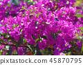 Close-up of bougainvillea spectabilis blossoms 45870795