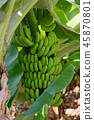Bunch of unripe green bananas hanging on a tree 45870801