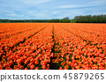 Field of orange blooming tulip flowers in Holland 45879265