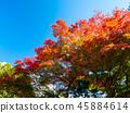 ต้นเมเปิล,ต้นออทัม,ฤดูใบไม้ร่วง 45884614