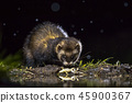European polecat with frog prey 45900367