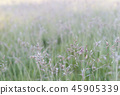 Ear of grass wet with morning dew 45905339