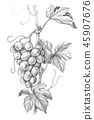 Grape Branch Pencil Drawing 45907676