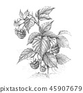 Raspberry  Branch  Pencil Drawing 45907679
