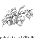 Plum Branch  Pencil Drawing 45907682