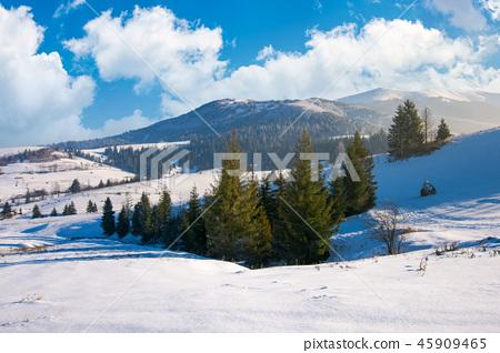 spruce woodlot on a snowy slope 45909465
