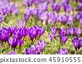 nature, crocus, purple 45910555
