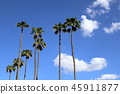 Palm trees (Phoenix, Arizona, United States of America) 45911877