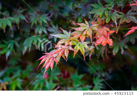 日本楓葉Asia Japan Maple leaf 45923115