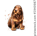 Dachshund puppy from a splash of watercolor, hand drawn sketch 45940987