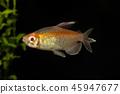 Congo tetra (Phenacogrammus interruptus) 45947677