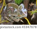 Veiled chameleon (Chamaeleo calyptratus) 45947678