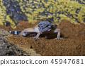 leopard gecko (Eublepharis macularius) on sand 45947681