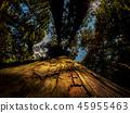 ต้นสนญี่ปุ่น,ป่าไม้,ป่า 45955463