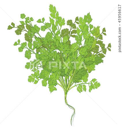 Coriander leaves on white background 45956617