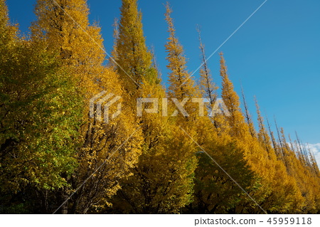 The yellow leaves of ginkgo trees 45959118