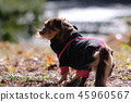 達克斯獵犬Kaninhaen可愛 45960567